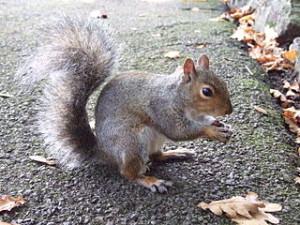 320px-Eastern_Gray_Squirrel_in_Singleton_Park,_Swansea_21_Oct_2007_01