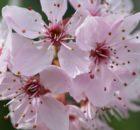 japanese-cherry-blossom-106018_1920